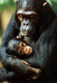 chimpance37